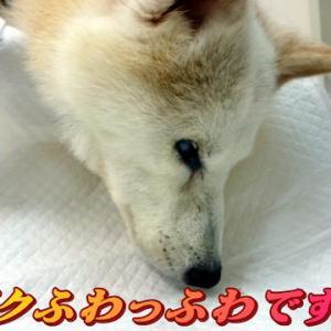 ☆10/21 シャンポゥDAYでした 老犬本舗☆