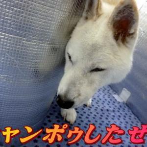 ☆10/22 昨日もシャンポゥ!老犬本舗☆