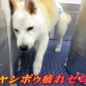 ☆12/7 シャンポゥ頑張った!老犬本舗☆
