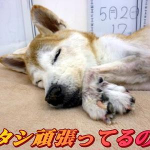 ☆6/19 はなちゃん急変&Newワン登場 老犬本舗☆