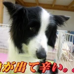 ☆1/17 手術延期・再度の発熱。。。老犬本舗☆