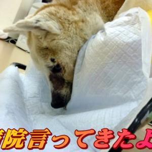 ☆5/13 急遽病院へ!老犬本舗☆