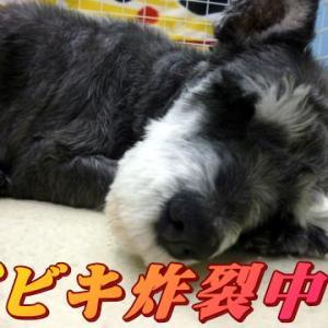 ☆7/29 眠くて眠くて 老犬本舗☆