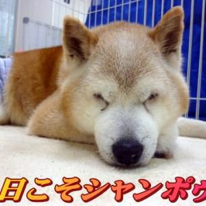☆8/1 今日こそシャンポゥ 老犬本舗☆