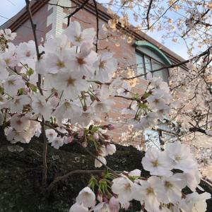 百済王神社の桜(3月29日)