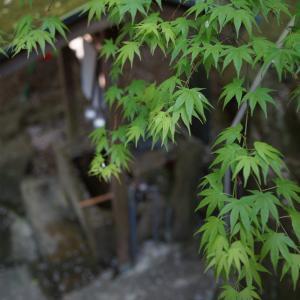 有田市箕島ウエノ公園の桜(4月5日)