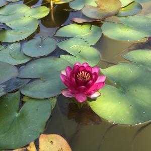 霊園で美しく咲く蓮の花