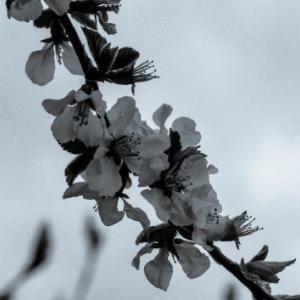 早春(桜)