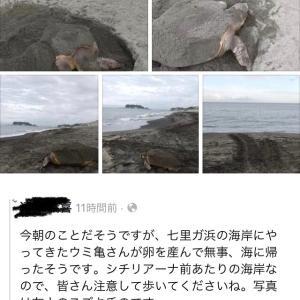 七里ヶ浜に海亀が!