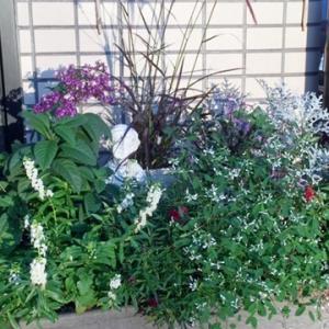 玄関前の寄せ植え&栗の渋皮煮~♬