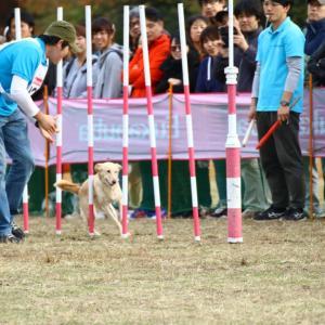 保護犬出身リルサ エクストリームの全国大会に出場