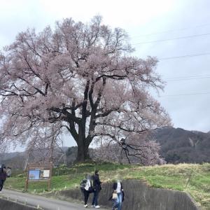 古来、桜は鎮魂の花・故にコロナ鎮静を願い桜を愛でる(王仁塚の桜/神代桜)