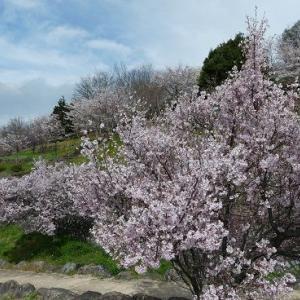 桜と桃のお花