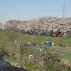 市内柳瀬川堤桜