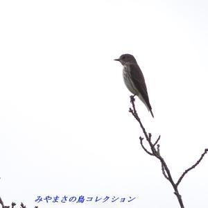 今日の鳥コレクション・・・近場のお山で