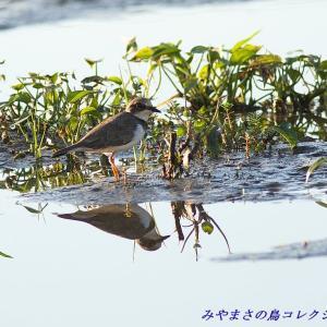 今日の鳥コレクション・・・水が溜まった休耕田で