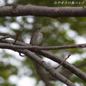 今日の鳥コレクション・・・お山にある公園で