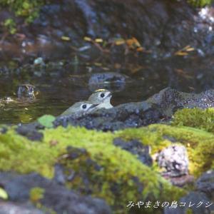 今日の鳥コレクション・・・水場で①
