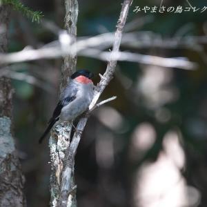 今日の鳥コレクション・・・お山の上の水場で②