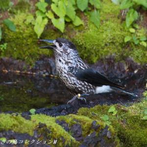 今日の鳥コレクション・・・お山の上の水場で③