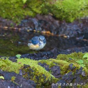 今日の鳥コレクション・・・お山の上の水場で④