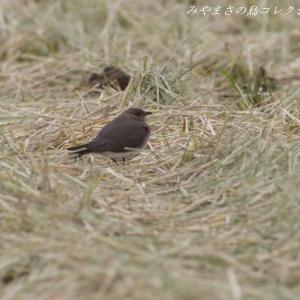 今日の鳥コレクション・・・田園地帯で(地上編)