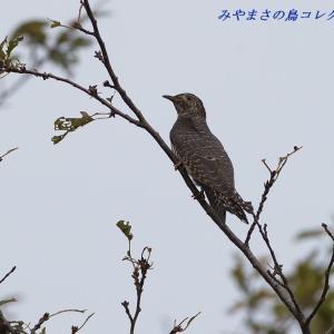 今日の鳥コレクション・・・毎年行くポイントで