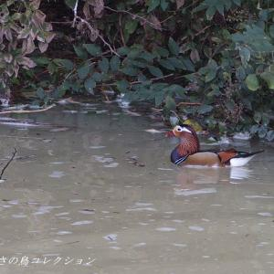 今日の鳥コレクション・・・水が濁ってましたが