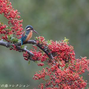 今日の鳥コレクション・・・ピラカンサにとまる①