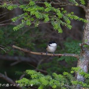今日の鳥コレクション・・・高いお山の水場で