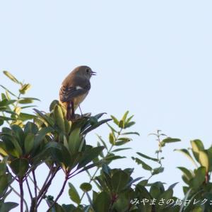 今日の鳥コレクション・・・今シーズンの初撮り
