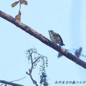 今日の鳥コレクション・・・今シーズンの初撮りだが