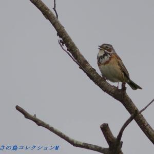 今日の鳥コレクション・・・曇り空の高原で