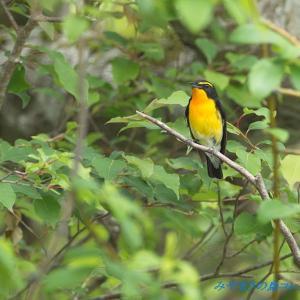 今日の鳥コレクション・・・今季の初撮り