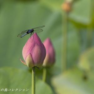 今日の鳥コレクション・・・蓮の花に