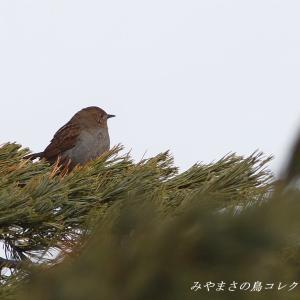 今日の鳥コレクション・・・高いお山のハイマツに