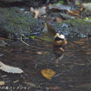 今日の鳥コレクション・・・水浴びに来た