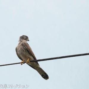 今日の鳥コレクション・・・雨の止み間に