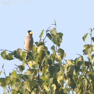 今日の鳥コレクション・・・木のてっぺんで