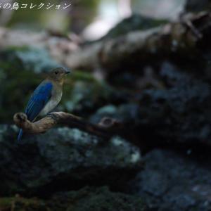 今日の鳥コレクション・・・滝行? 水浴び?