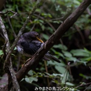 今日の鳥コレクション・・・