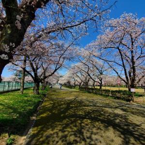 【高田公園】の桜~♪