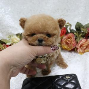 特選犬 超極小マイクロサイズのプードル姫