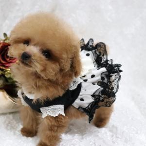 特選犬 極小ティーカッププードル姫