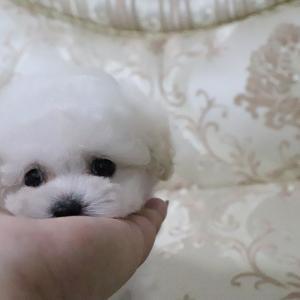 特選犬 超極小マイクロサイズのプードル王子