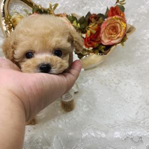 特選犬 超極小マイクロサイズ プードル姫