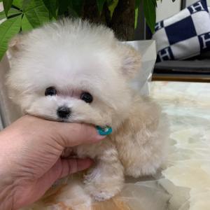 特選犬 超極小マイクロプードル王子登場