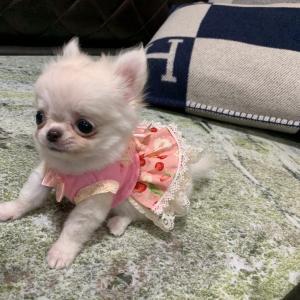 特選犬 超極小マイクロチワワ姫登場