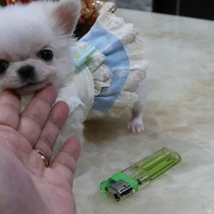特選犬 超スーパー極小サイズのチワワ王子登場