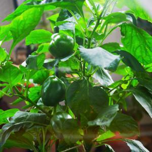 《ベランダ菜園》夏の記録:パプリカ、ミニトマト。